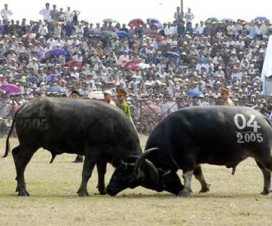 Do Son Buffalo Fighting Festival - Vietnamese culture - Vietnamtravelblog