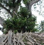 A giant banyan tree's roots cover the wall of a historical site in Con Dao - Photos: Mong Binh - Vietnamtravelblog